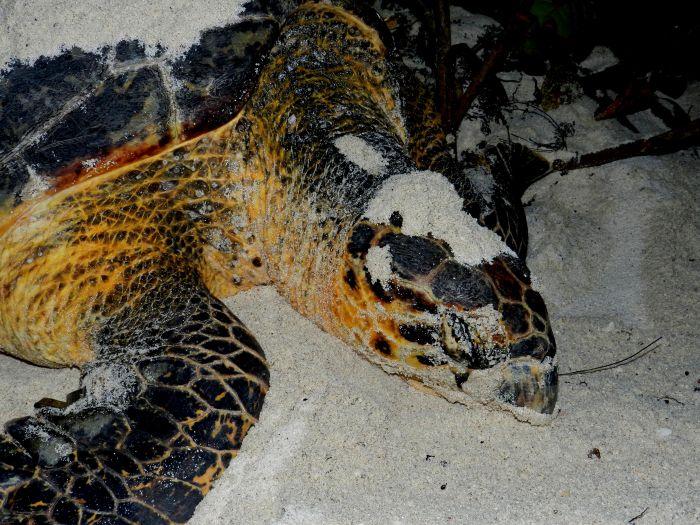 Nesting Hawksbill Turtle