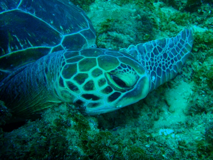 Green turtle right facial profile