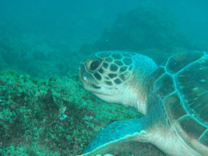 Left facial profile of Green Turtle