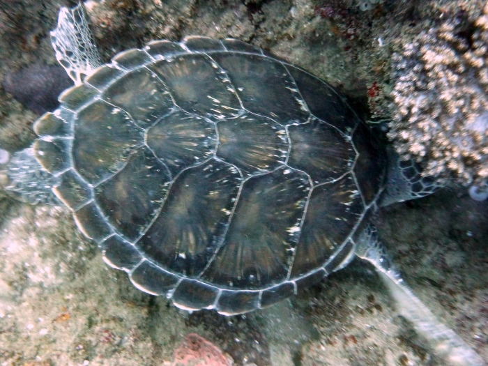 Green turtle carapace