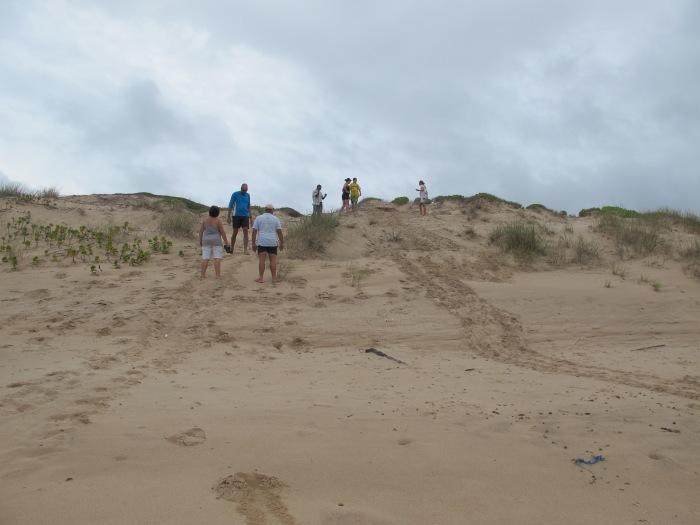 Loggerhead turtle nesting tracks.