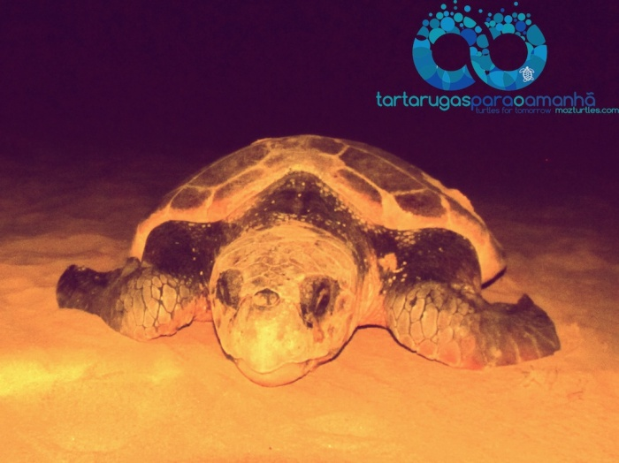 loggerhead front view (1)