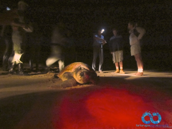 loggerhead returns to ocean with researchers behind