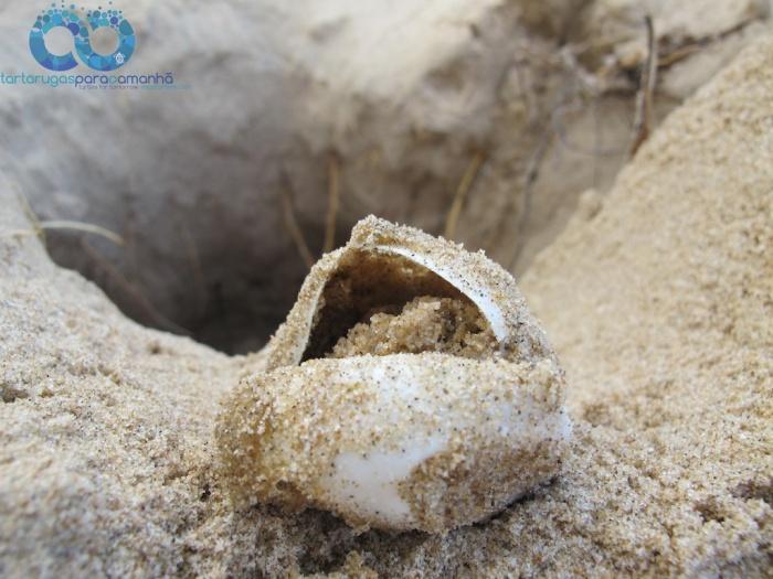 poached loggerhead nest