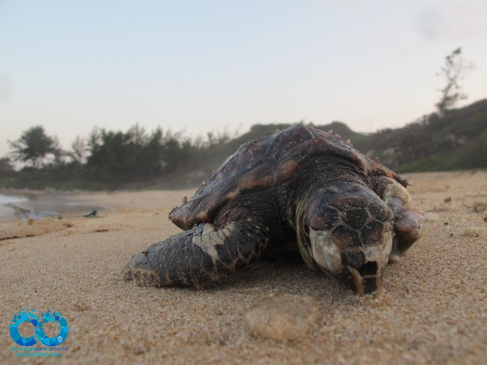 Stranded juvenile hawksbill turtle, Tofinho Beach, Inhambane. To access the full report in pdf click the link below for summaries of nesting, stranding and mortality events across the country in 2015/2016.